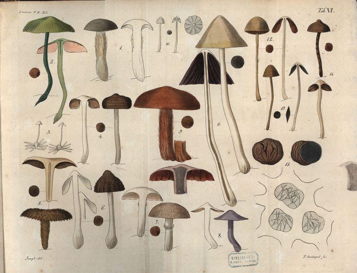 Sezioni di funghi, 1830 #funghi #botanica #illustrazioni #forme
