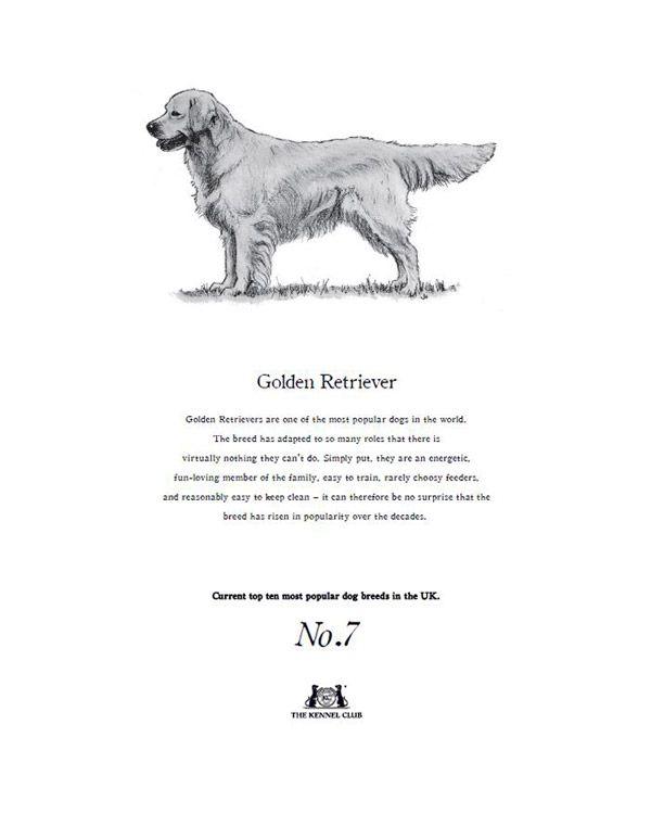 Golden Retriever Tea Towel  The Kennel Club Official Shop