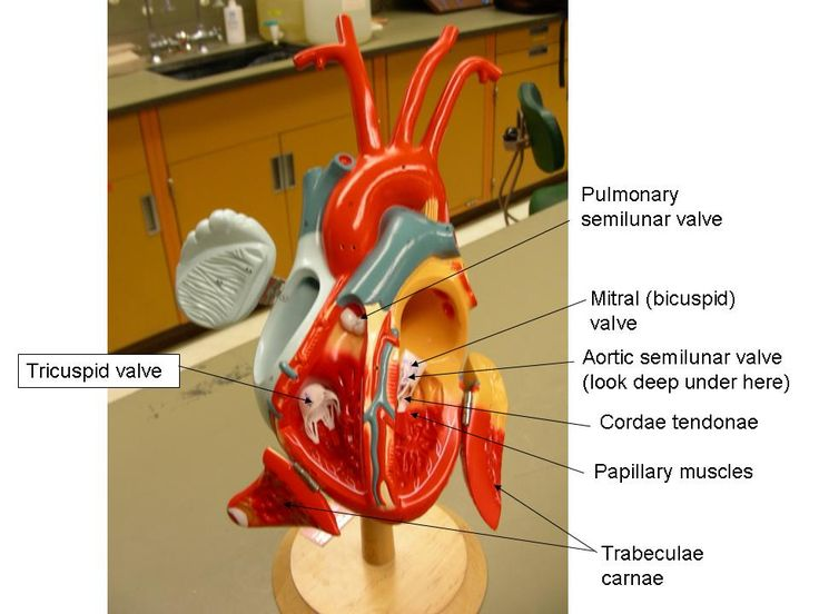 Heart Model Labeled