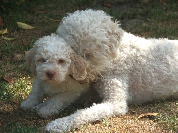 Lagotto mother and puppy