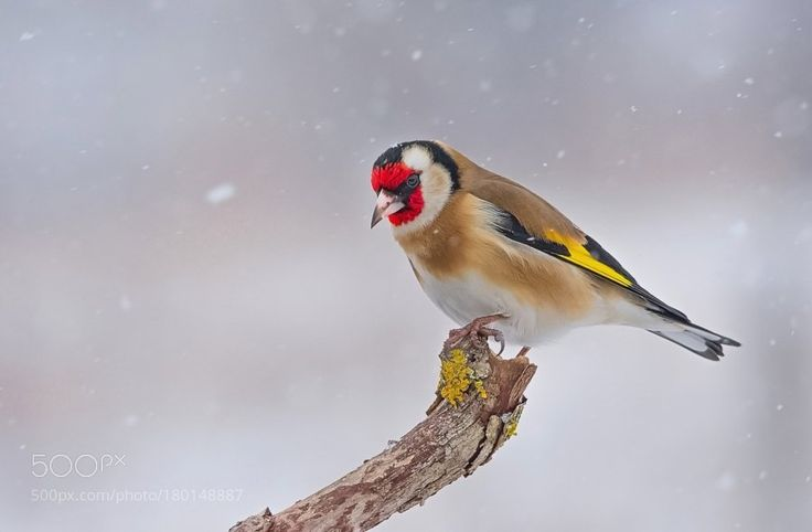 Goldfinch by frank742-(1) Media Tweets by MAGNIFYK (@magnifyk) | Twitter