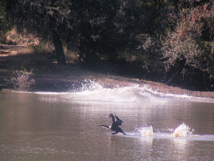 White breasted cormorant at Thaba Khaya http://www.thabakhayalodge.co.za/