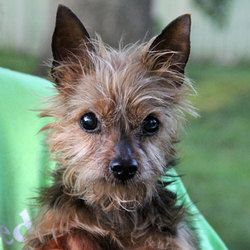 Claire is an adoptable Yorkshire Terrier Yorkie Dog in Auburn, NE. Claire came to the shelter with her friend, Martin Yorkie, from a family that had fallen on hard times. She can be a little bit shy a...