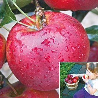 Pixie Crunch™ Apple Tree