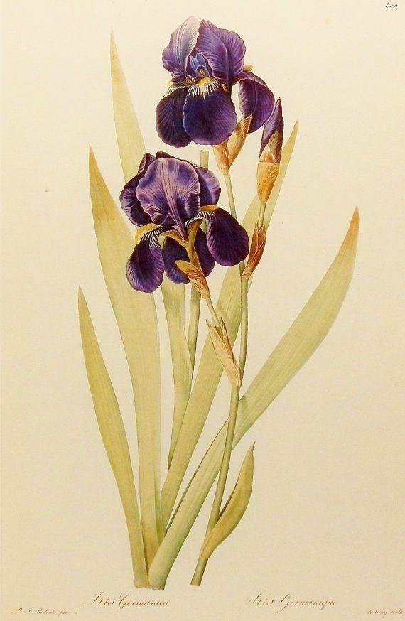 Plum Iris Art, Botanical Print (River House Decor, Redoute Flower) No. 55                                                                                                                                                                                 Mais