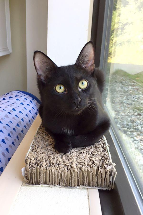 zwarte Pussy Cats