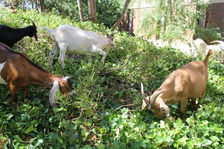 Renting goats to eat invasive plants: They're good mowers but watch the rhodies | OregonLive.com