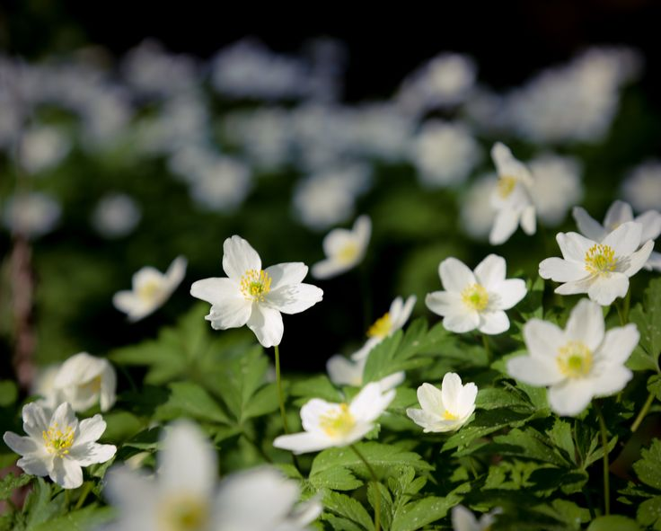 Flower power, Anemone, valkovuokko