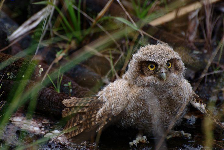 ~ Baby owl II by Luis Alejandro Bernal Romero / aztlek.com ~