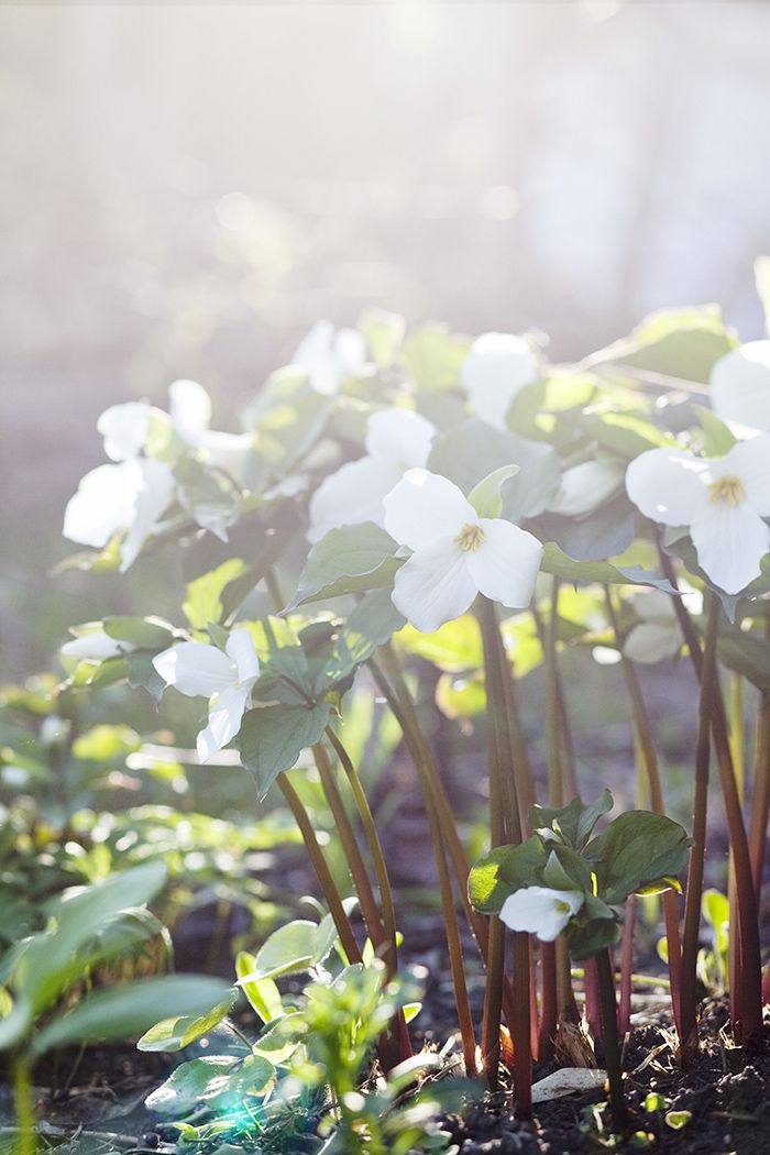 Moon Garden: Trillium ~ shade-loving perennials (zone 3 - 9) that can be grown from seeds or rhizomes, but greatest success is to divide existing trillium plants and replant from these divisions