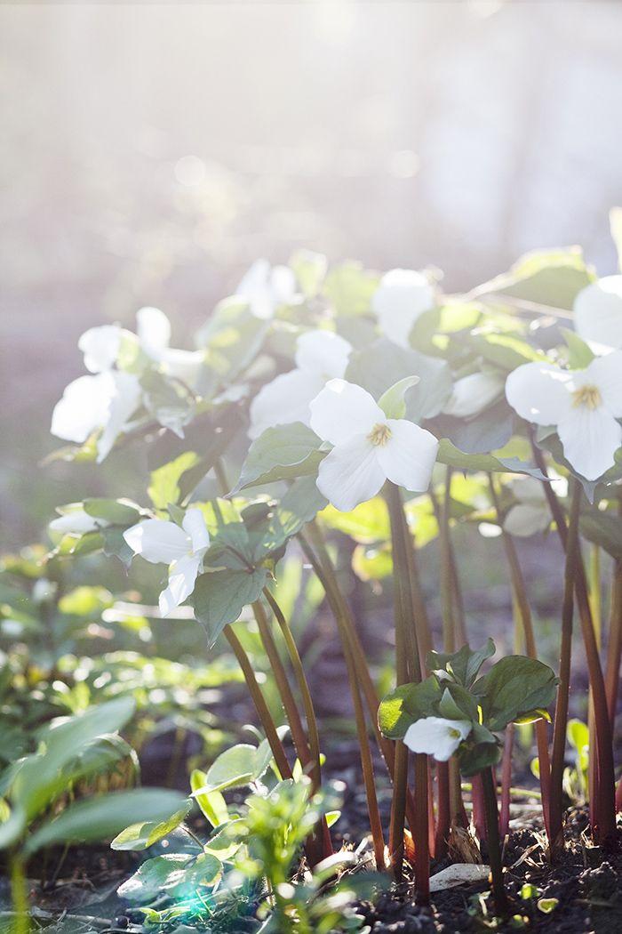 trillium-zetas-trädgård