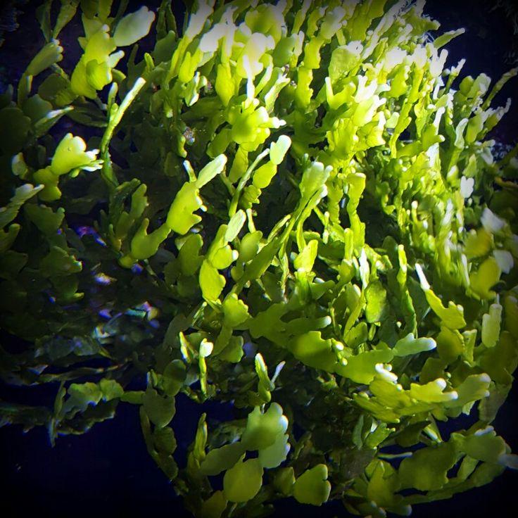 32 best green macroalgae species images on pinterest for Fish tank algae