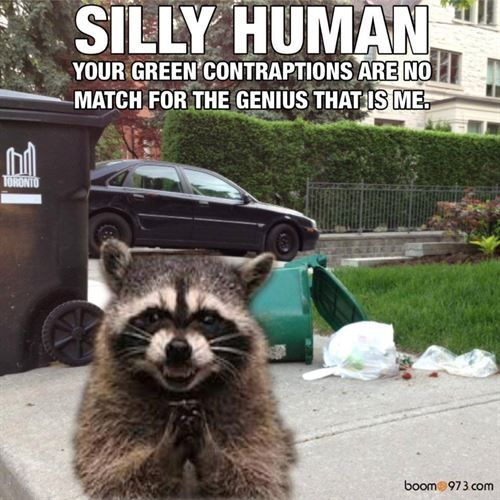It's garbage day and the raccoon's couldn't be happier ...