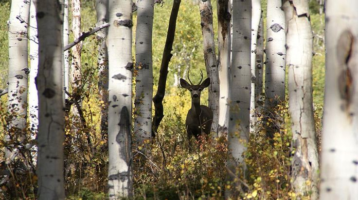 The Secret Lives of Aspen Groves | The Weather Channel