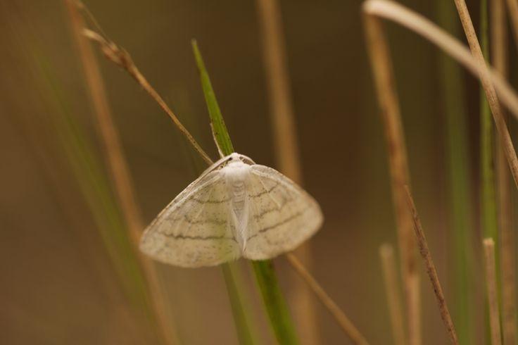 2014 05 04 witte grijsband spanner Cabera pusaria