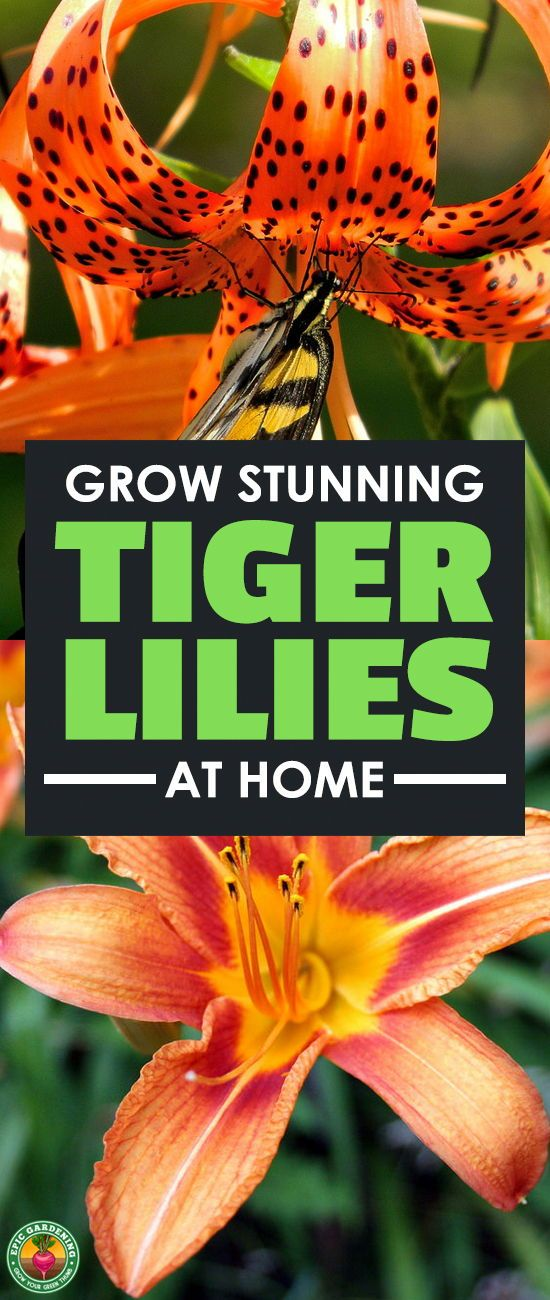 The tiger lily is a stunning, flashy plant which can brighten up any garden. Learn to grow your own Lilium lancifolium with our complete care and growing guide! #flowers #lilies #gardening #garden