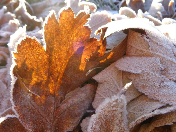 Frost-tipped autumn leaves in Finland didn't expect winter that soon.