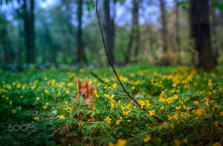 You Can't See Me - A red squirrel hiding behind a leaf on a fairy-tale spring meadow.