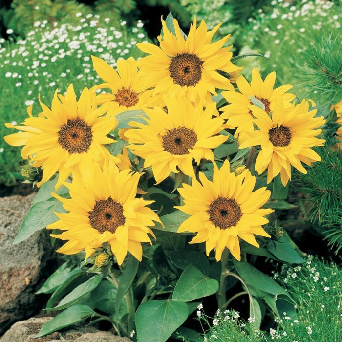 Pacino Cola Sunflower 3 75 Helianthus Annuus Sunshine In A Pot An Abundance Of Brilliant 5 6 Inch Lemony Yellow Flowers Dwarf Plants Buy Seeds Sunflower