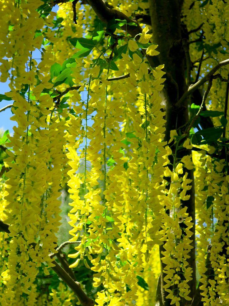 https://flic.kr/p/GNiY3x | VanDusen Botanical Garden - Laburnum Walk | en.wikipedia.org/wiki/Laburnum