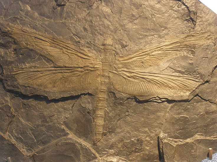 Meganeura  - The Giant Dragonfly.  When: Carboniferous (~305-299 million years ago). Meganeura is the largest dragonfly, with a wingspan of 2.5 feet (~75 cm) in some specimens. The largest living dragonfly is a comparatively weensy 7.5 inches (~19 cm) across at the wings.