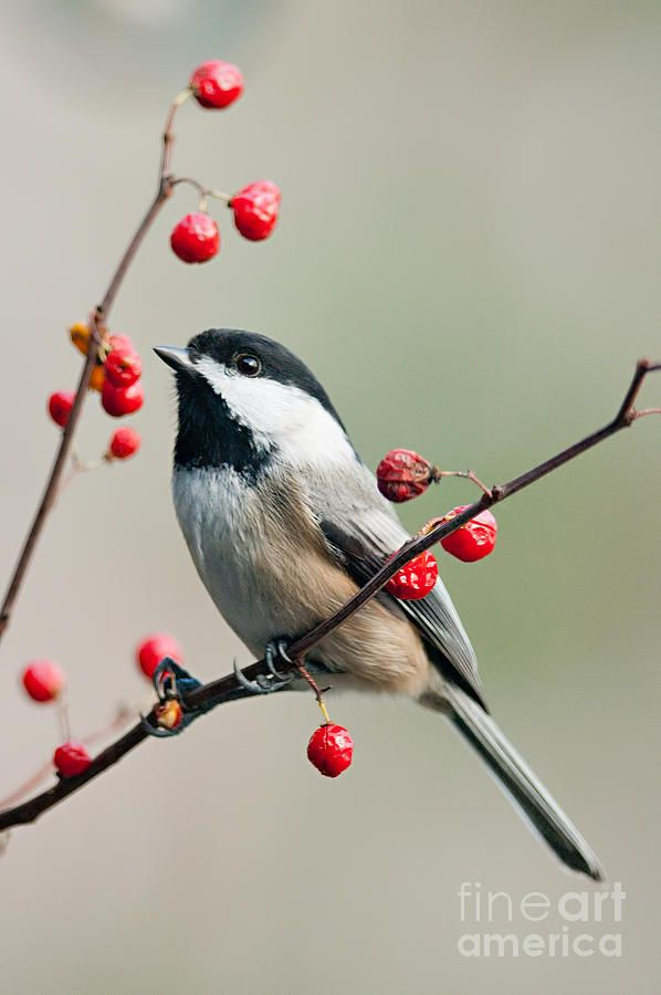Black Capped Chickadee On Berry Branch Photograph - Black Capped Chickadee On Berry Branch Fine Art Print