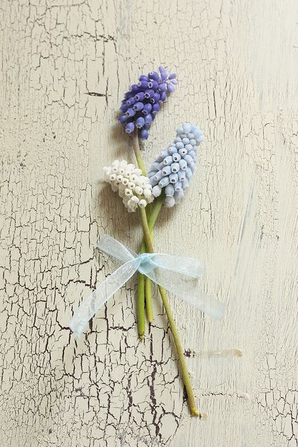 muscari or grape hyacinth blue white - this board features flowers that are usually available for florists to buy in the UK in February for a February wedding. Winter - Spring - Wedding - Florals - Flowers - Seasonal - UK - England - Bouquet - Buttonholes - Table - Arrangement