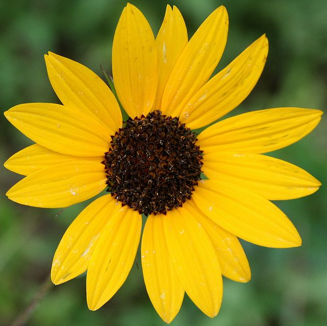 Brown Eyed Susan Flower | Recent Photos The Commons 20under20 Galleries World Map App Garden ...