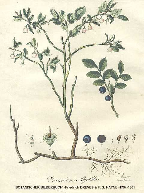 huckleberry botanical drawing - Google Search
