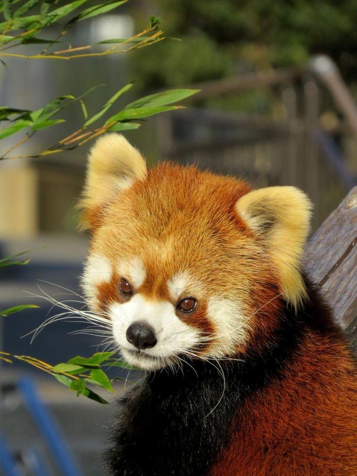 大島公園動物園にいるかわいいレッサーパンダ。伊豆大島の観光スポットを集めました!