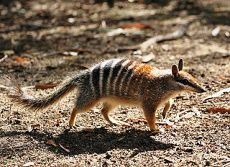 02 December - Western Australia, the endangered numbat