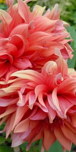 Dahlia...Peaches Dahlias, Beautiful Flower, Coral Peonies, Beautiful Dahlias, Pink Petals, Gardens, Pink Dahlias, Pink Peonies, Cut Flower