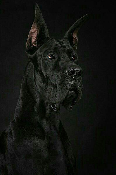 Dänische Dogge #BlackBeauty