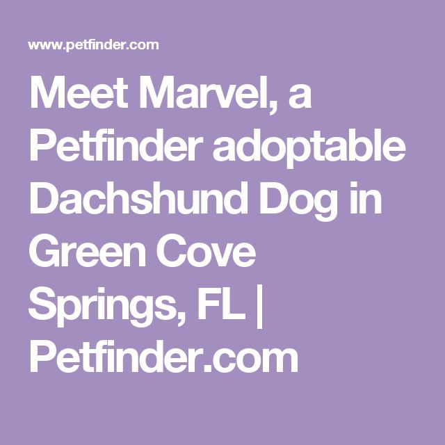 Meet Marvel, a Petfinder adoptable Dachshund Dog in Green Cove Springs, FL | Petfinder.com
