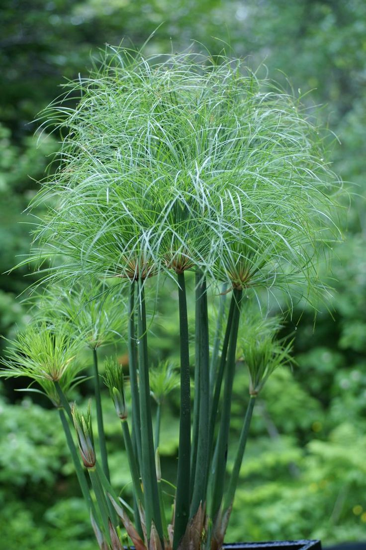 cyperacees-papyrus-degypte-cyperus-papyrus-egyptian-paper-reed