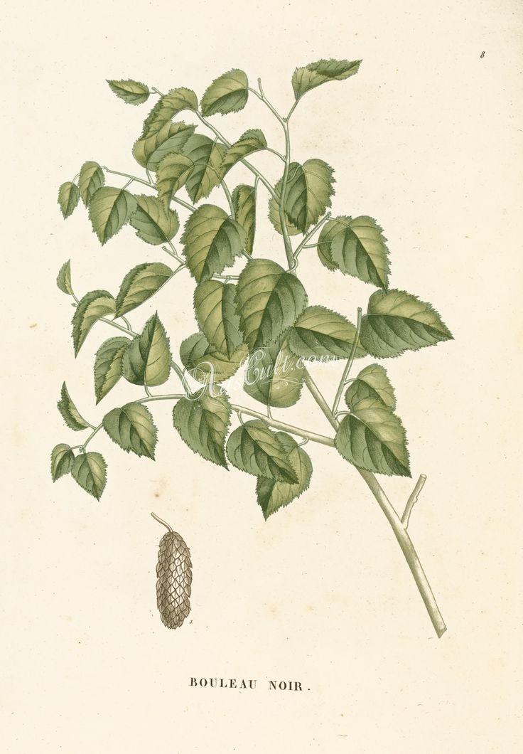 Betula nigra      ...