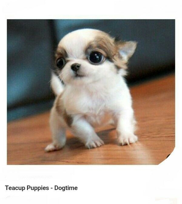 Chihuahua Chihuahuas Chiwawa Puppy Puppies Dog Dogs Animal