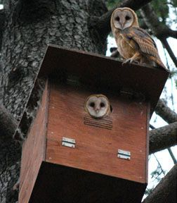 Owls and owl box. Photo by David Goodman