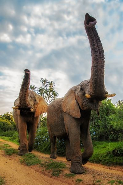 Elephants communicate within their herds or between herds many kilometers away mostly using sounds too low for human ears to perceive and by stamping their feet.