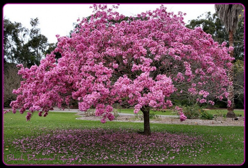 "The brazilian native tree ""Ipê Rosa"" (Pink Ipê) - Tabebuia avellanedae. It's amazing when in blossom."