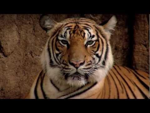 La lotta al bracconaggio per salvare le tigri
