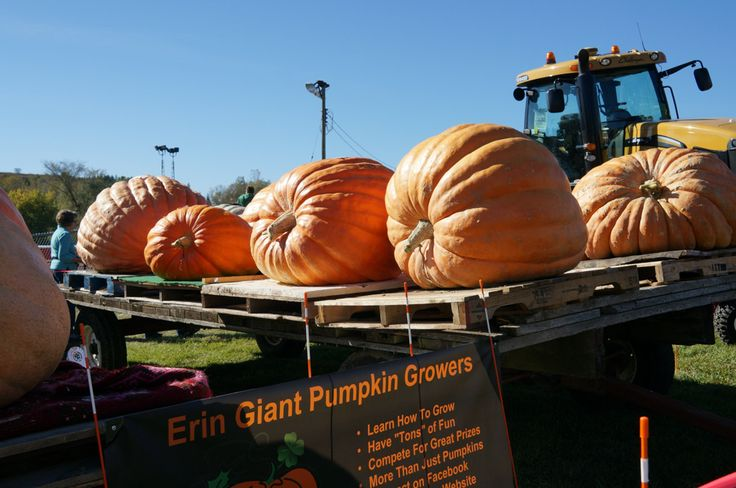 The small town of Erin, certainly had the biggest pumpkins on display of all the fairs I travelled to.