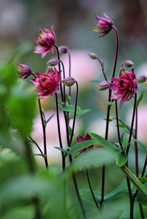Aquilegia vulgaris 'Clementine Red'. European columbine = akelei