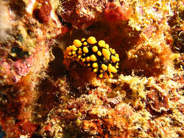 Nudibranch   Flickr - Photo Sharing! By Daniel Kwok in Weh Island