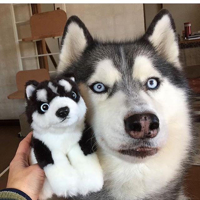 #officialhuskylovers #love #animals #siberianhusky