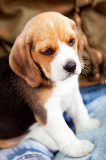 Beagle puppy- still not as cute as Booster though ;)