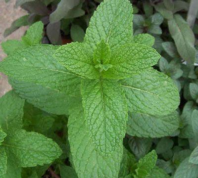 Mint-Spearmint Herb Plant