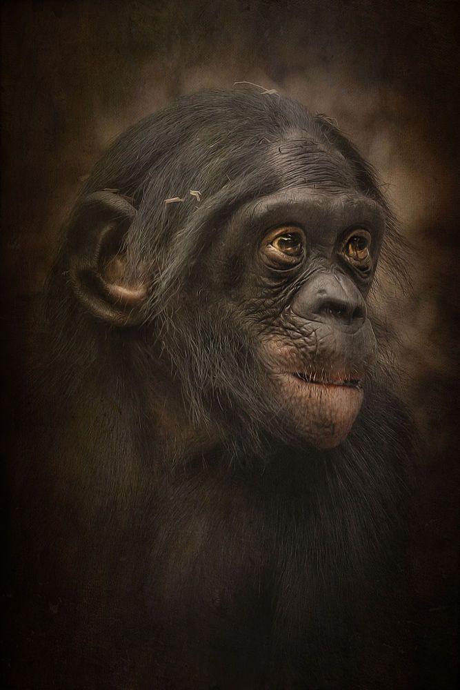 bonobo by Detlef Knapp on 500px