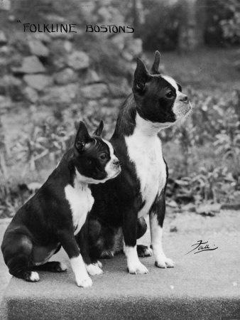 Beautiful Boston Terriers...