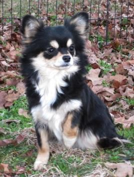 Will x Raisin, Collette all grown up. black and tan longcoat chihuahua puppy